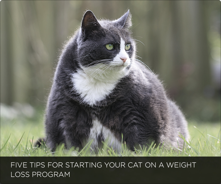 Five Tips For Starting Your Cat On A Weight Loss Program
