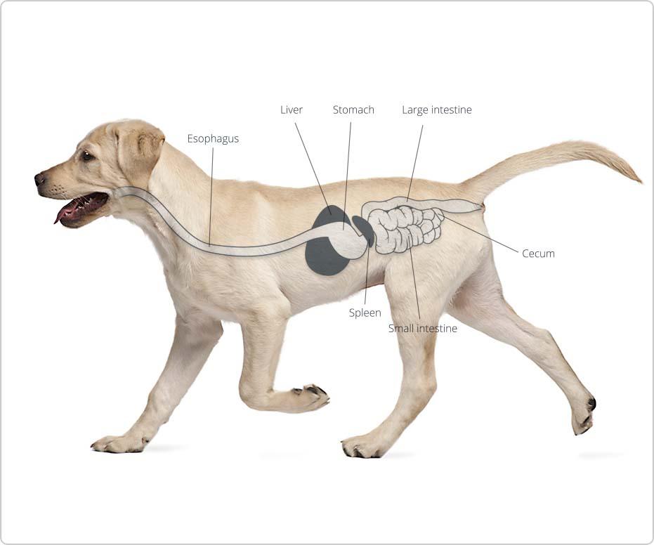Diagram Of Food Digestion Toyskids